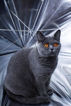 Young beautiful gray British cat sitting in a silver umbrella