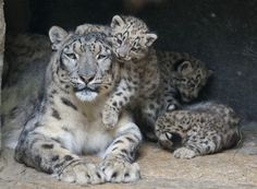 Snow Leopard family. Seriously, how cute is this?