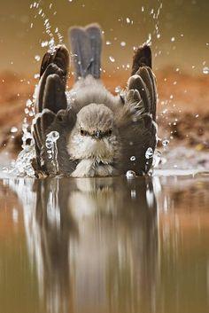 northern mockingbird by staci