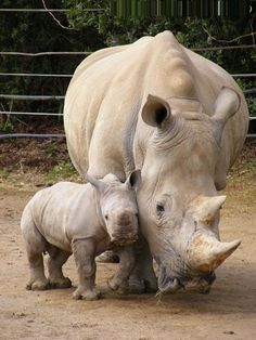 Anne ile yavru Gergedan