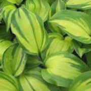 Hosta 'Volcano Island'. Click image to learn more, add to your lists & get care reminders.    Other names: Plantain lily 'Volcano Island'    Genus: Hosta    Variety or cultivar: 'Volcano Island' _ 'Volcano Island' is a clump-forming, herbaceous perennial with upright, red stems bearing broadly ovate to heart-shaped, veined, yellow-green leaves with wide, irregular, dark green margins. Funnel-shaped, lavender flowers are borne on slender scapes in summer.