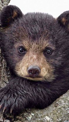 think this is a black bear cub or brown bear Cute Baby Animals, Animals And Pets, Funny Animals, Wild Animals, Baby Pandas, Beautiful Creatures, Animals Beautiful, Black Bear Cub, Bear Cubs