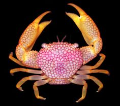 who knew a crab could be so pretty?