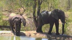| Africam Elephants at Naledi - Nov 24 2015 - 1:33pm