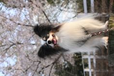 Gorgeous!  papillon