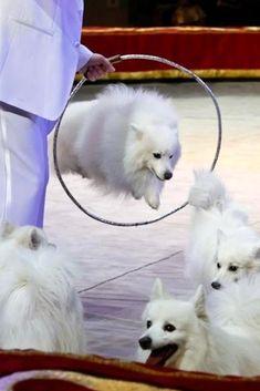Как возникла порода Японский шпиц, характер и особенности собак