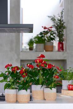 Inspiratie: zo style je de keuken met anthurium planten Container Gardening, Gardening Tips, Flamingo Flower, Green Kitchen, Plant Wall, Tropical, Backyard Landscaping, Houseplants, Flower Decorations