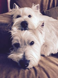 West Highland Terrier - Photos - Community - Google+