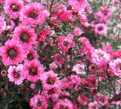ギョリュウバイ(魚柳梅)Manuka (Leptospermum scoparium) Gyoryuubai (gyoryuubai)