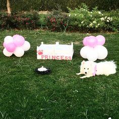 Birthday Dog Japanese Spitz Dog Japanese Spitz Dog, Spitz Dogs, Birthday, Birthdays, Dirt Bike Birthday, Birth Day