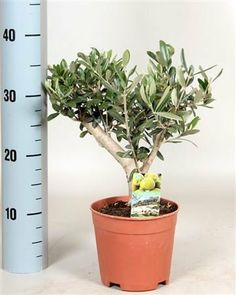 Beautiful Thick Bush Olive Plant, a beautiful house plant, a perfect gift! (2x Thick Bush Olive) by Best4garden, http://www.amazon.co.uk/dp/B00GRXK0EK/ref=cm_sw_r_pi_dp_8EXOsb1BQDZF0