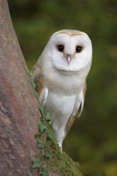 love barn owls