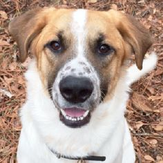 This sweet baby is Jack.  He is around 1.5 years old and a very sweet and loving and he gets along with kids and other dogs.  Please consider adding this sweet baby to your family.  Contact LifeLine Animal Project at 404-292-8800.
