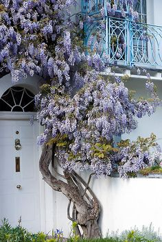 The beautiful purple Wisteria dresses this entrance & balcony wonderfully. Love Garden, Dream Garden, Home And Garden, Wisteria Tree, Purple Wisteria, Vides, Better Homes And Gardens, Trellis, Backyard Landscaping