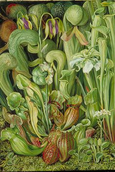 Orchids    Marianne North