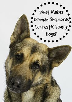 German Shepherds have a long history of being one of the best family dogs, but how did they earn that reputation? Find out what makes them so amazing! Guard Dog Training, Dog Training Tips, Best Dogs For Families, Family Dogs, German Shepherd Puppies, German Shepherds, Dog Anxiety, Schaefer, Dog Life