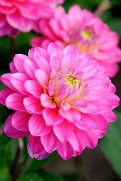 Dahlia 'Melody Pink Allegro'     Prachtige nieuwe variëteit met grote dieproze bloemen, perfect voor in een bloembak op het balkon of terras.