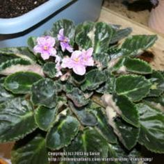 Are you having trouble with your African Violet? This article will help you renew and revive it!