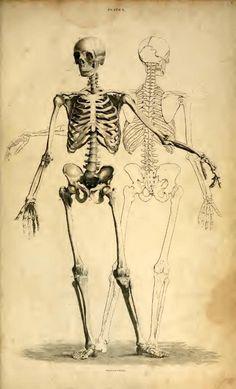 Vintage Illustration of Human Skeleton Art Print by PDPress - X-Small Human Anatomy Art, Anatomy For Artists, Body Anatomy, Anatomy Drawing, Human Skeleton Anatomy, Skeleton Drawings, Skeleton Art, Art Drawings, Skeleton Makeup