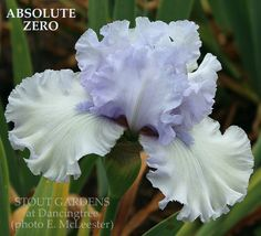 "(Paul Black 2012) TB iris, 40"" (102 cm), E-MS. very pale lavender blending to slightly darker border; style arms pale lavender; F. ice white; beards pale lavend"