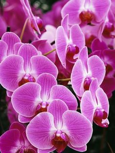 Pink Orchids Photographic Print by Darrell Gulin at Art.com