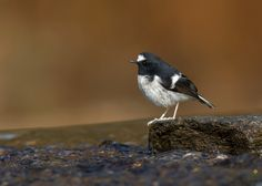 Little Forktail () Creative Praveen's wildlife and nature photography portfolio. Images also available for print and sale. Best of Praveen's photography work. Contact Us!