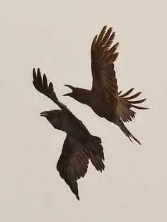 La visione che non ho, rideablackhorse: Hans O. Crow Art, Raven Art, Hugin Munin Tattoo, Gravure Photo, Quoth The Raven, Dark Wings, Raven Tattoo, Jackdaw, Dark Pictures