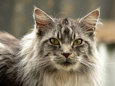 14 Kinds Of Cats You Maybe Didn't Know Existed Norwegian Forest Cat – The Frisky