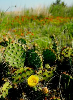 Alabaster Caverns State Park in Freedom has well-lit trails through dark caves but is also home to gorgeous wildlife like these flowering cactus.