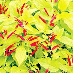 At its best in fall when it sends up spikes of vivid red flowers, this salvia's foliage smells like ripe pineapples. The plant grows 4 feet tall. 'Golden Delicious' grows to 3 feet tall with fire-engine red blooms and chartreuse leaves. Red Plants, Fall Plants, Garden Plants, Garden Birds, Hummingbird Garden, Foliage Plants, Live Plants, Best Perennials, Flowers Perennials