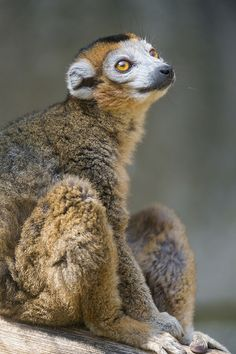 Crowned lemur looking upwards by Tambako the Jaguar on Flickr.