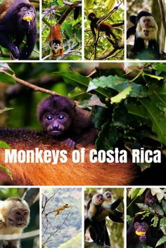 Learn about the 4 monkey species that inhabit Costa Rica.
