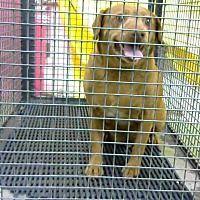 URGENT 1/9 @ DEVORE San Bernardino, California - Chihuahua., a for adoption. https://www.adoptapet.com/pet/20463609-san-bernardino-california-chihuahua-mix