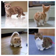 Munchkin cats. If for some reason I get a cat, it would be a munchkin cat!