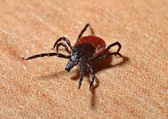 Lyme disease sickens per year in the U. alone, according to the CDC! Learn more about the different ways (BESIDES a tick bite! the symptoms (Lyme can mimic over 350 different diseases), and treatments. Lyme Disease Prevention, Disease Symptoms, Rocky Mountain Spotted Fever, Termite Pest Control, Tick Removal, Best Pest Control, Tick Control, Endocannabinoid System, Insect Bites