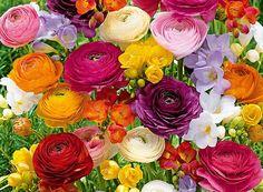 Zauberhafte Blumenzwiebel-Mischung in den schönsten Farben Freesien- & Ranunkel-Mix 'Butterfly Beauty' Ranunculus, Rose, Flowers, Plants, Beauty, Collection, Easter Activities, Colors, Nice Asses