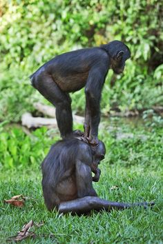 The playful pair are one of 60 bonobos at Lola ya Bonobo Sanctuary in the Democratic Republic of Congo. Scientists believe there are only wild bonobos left in the jungles of central Africa. Animals And Pets, Baby Animals, Funny Animals, Cute Animals, Large Animals, Los Primates, Animal Yoga, Ape Monkey, Mountain Gorilla