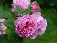 'Louise Odier ' Rose, Deep pink Bourbon.