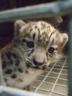 The Denver Zoo's new snow leopard cub
