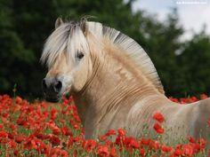 kon-fiordzki-maki-czerwone.jpeg (1024×768)