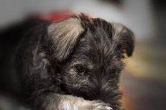 mini schnauzer pup on etsy Miller and * Funmaker and this looks like harman! Cute Puppy Photos, Funny Puppy Pictures, Cute Puppies Images, Puppy Images, Cute Animal Pictures, Adorable Pictures, Miniature Schnauzer Puppies, Schnauzer Puppy, Schnauzers