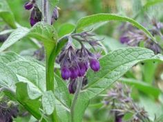 Feketenadálytő kenőcs Herbs, Health, Nature, Plant, Tips, Naturaleza, Health Care, Herb, Healthy