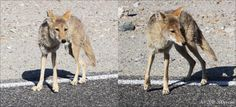 Coyote begging for food by the side of the road, Death Valley, CA