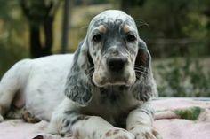 English Setter Pup ~ Classic Look Baby Puppies, Dogs And Puppies, English Setter Puppies, Animals And Pets, Cute Animals, Labrador, I Like Dogs, Irish Wolfhound, Irish Setter