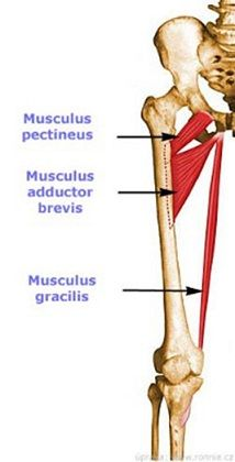 Muscle of Medial Fascial Compartment Of The Thigh