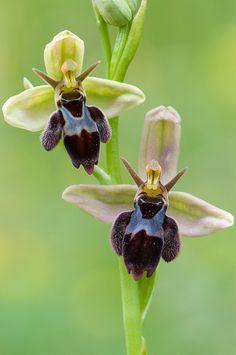 Ophrys insectifera x apifera, a natural cross between the bee and fly orchid