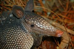 An armadillo, resident of Bulow Creek state Park in Ormond Beach, Florida.