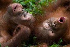 Baby Orangutan adventures   Free National Geographic Pix