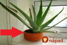Aloe vera also beneficial in cutting back the overweight of body by its normal use. Aloe vera is the ideal example in the organic treatment of skin difficulties. Aloe Vera Face Mask, Aloe Vera For Hair, Plantes Feng Shui, Sparse Eyebrows, Makeup Jobs, Decoration Plante, Natural Kitchen, How To Apply Lipstick, Gardens