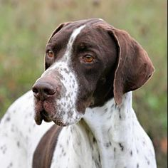 German Shorthaired Pointer English Pointer, talk about majestic -- My Jessie is an English Pointer. Gsp Puppies, Pointer Puppies, Big Dogs, I Love Dogs, Cute Dogs, Beagle, Labrador Puppies, Retriever Puppies, English Pointer Dog